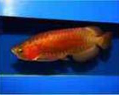 Arowana Fishes For Sale At Affordable Prices This X Mas Text 657