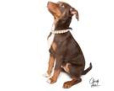 Adopt **Arya** RESCUE CENTER a Doberman Pinscher / Labrador Retriever dog in