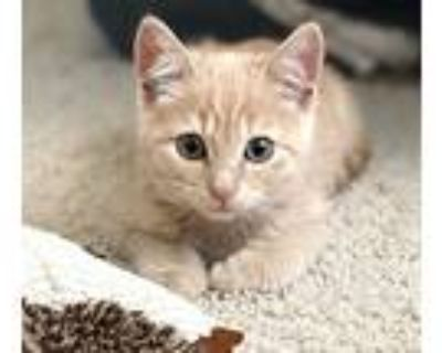 Lola - Bonded With Remy, Domestic Shorthair For Adoption In Fremont, California