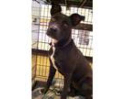 Adopt Pebbles a Labrador Retriever, Pit Bull Terrier