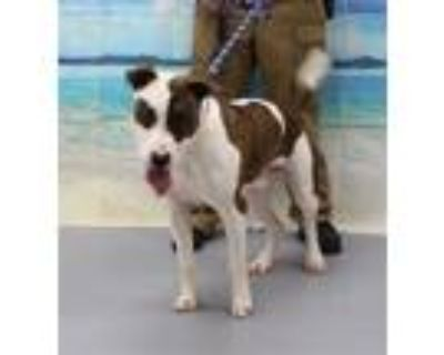 Adopt SNOOPY a Pit Bull Terrier, Mixed Breed