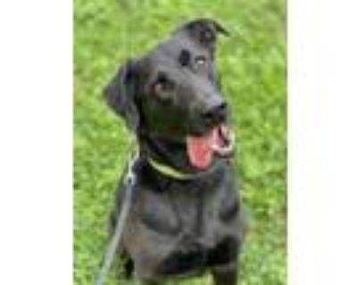 Adopt Sammy a Black Labrador Retriever