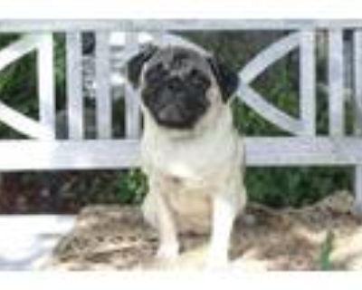 Adopt Maddie a Pug