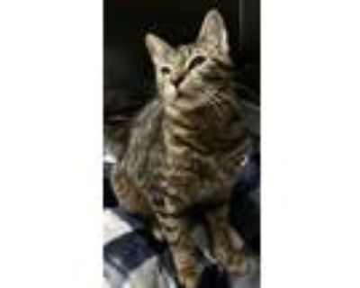 Adopt Otto a Gray, Blue or Silver Tabby Domestic Shorthair (short coat) cat in