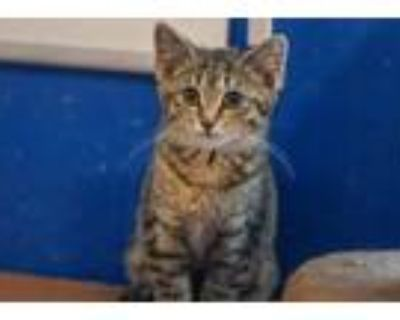 Adopt Sara Sidle a Brown or Chocolate Domestic Shorthair / Mixed cat in