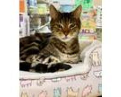 Adopt Arlo a Brown Tabby Domestic Shorthair / Mixed (short coat) cat in Los