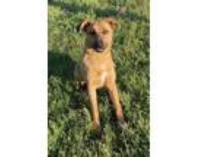 Adopt Hank a Brown/Chocolate Shepherd (Unknown Type) / Mixed dog in Winfield