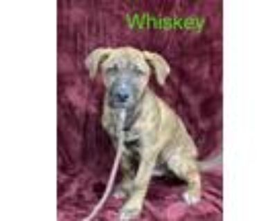 Adopt WHISKEY a Pit Bull Terrier, Mixed Breed