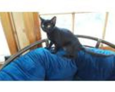 Adopt Sprig a All Black Domestic Shorthair (short coat) cat in Duluth