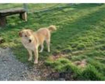 Adopt Oscar a Tan/Yellow/Fawn German Shepherd Dog / Labrador Retriever / Mixed