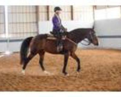 Adopt Lance a Buckskin Grade / Morgan / Mixed horse in Louisville, KY (31100067)