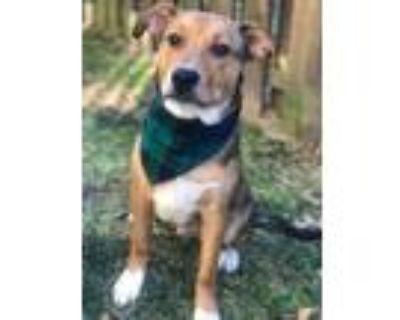Adopt Baxter a Beagle, Australian Cattle Dog / Blue Heeler