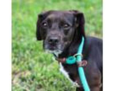 Adopt Roscoe a Black Beagle / Mixed dog in Atlanta, GA (30931332)