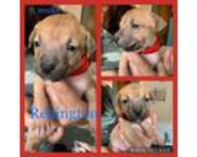 Adopt Redington a American Staffordshire Terrier, Labrador Retriever