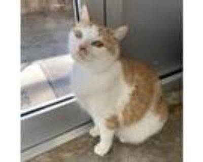 Adopt Norman (declawed) a Orange or Red Domestic Shorthair / Mixed cat in