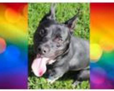 Adopt SHELLY a Australian Cattle Dog / Blue Heeler, Mixed Breed