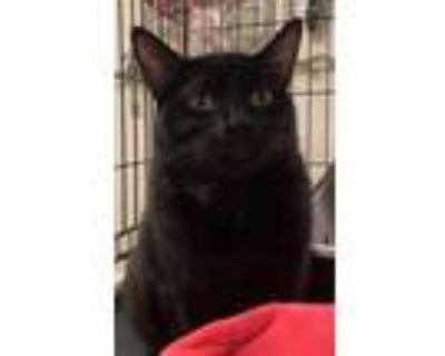 Adopt Tambourine a All Black Domestic Shorthair / Mixed (short coat) cat in