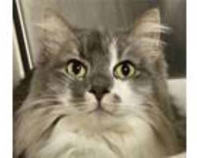 Adopt Smudge a Gray or Blue (Mostly) Maine Coon / Mixed (long coat) cat in
