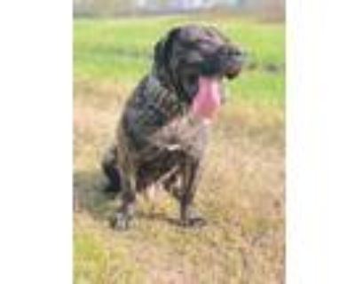 Adopt Kane a Brindle Bullmastiff / Mixed dog in Houston, TX (30881150)