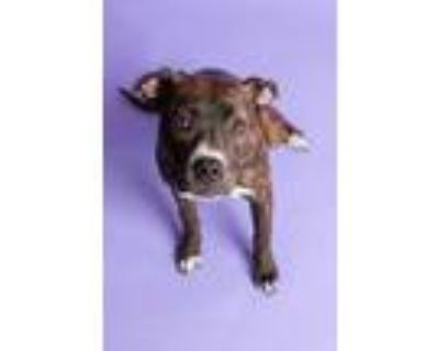 Adopt Izzy a American Staffordshire Terrier, Pit Bull Terrier