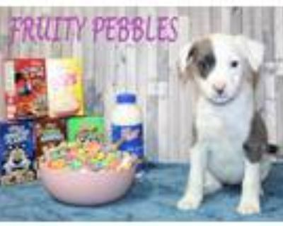 Adopt Fruity Pebbles a White American Staffordshire Terrier / Mixed dog in