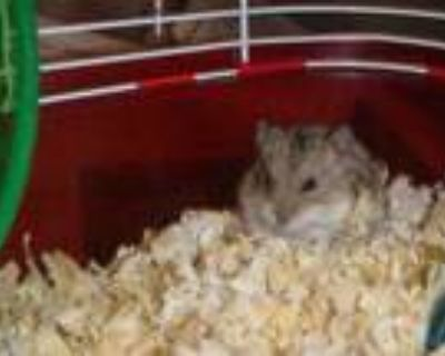 Adopt MOMMY SHARK a Golden Hamster / Mixed small animal in Van Nuys
