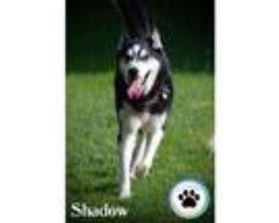 Adopt Shadow a Siberian Husky