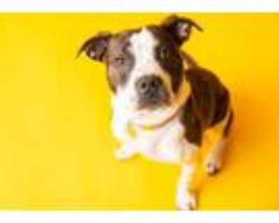 Adopt Israel a American Staffordshire Terrier, Pit Bull Terrier