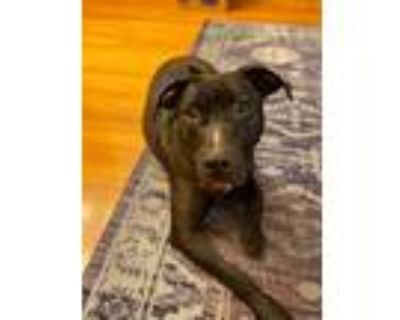 Paul Revere, Bull Terrier For Adoption In Boston, Massachusetts