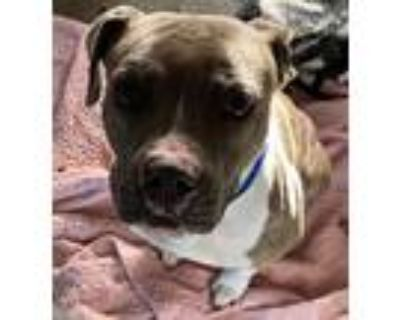 Adopt Kendrick a Pit Bull Terrier, Mixed Breed