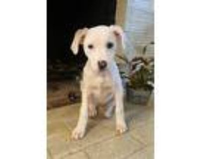Adopt Peppa a White Labrador Retriever dog in Greenbelt, MD (30323254)