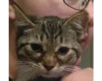 Adopt Posie a Brown Tabby Domestic Shorthair (short coat) cat in Brookhaven