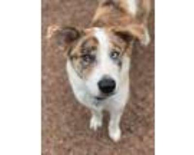 Adopt Eggleton a Tricolor (Tan/Brown & Black & White) Australian Shepherd /