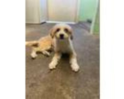 Adopt a Tan/Yellow/Fawn - with White Terrier (Unknown Type