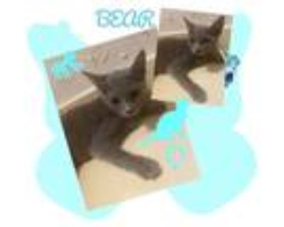 Adopt Bear a Gray or Blue (Mostly) Russian Blue (short coat) cat in Harrisburg