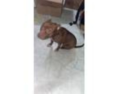 Adopt Bailey a Brown/Chocolate - with White American Pit Bull Terrier / Mixed