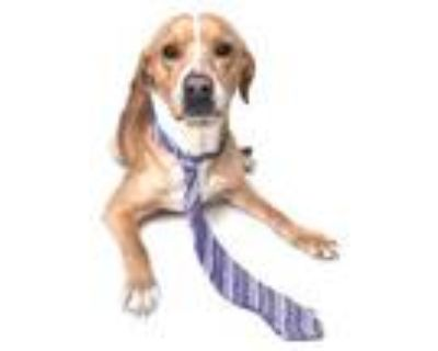 Adopt Trigger (Buster) a Tan/Yellow/Fawn Hound (Unknown Type) / Mixed dog in