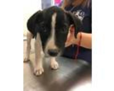 Adopt 48050580 a Black Pointer / Mixed dog in Los Lunas, NM (31691707)