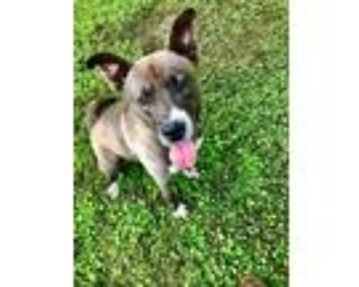 Adopt Nikita a Terrier (Unknown Type, Medium) / Mixed dog in Abbeville