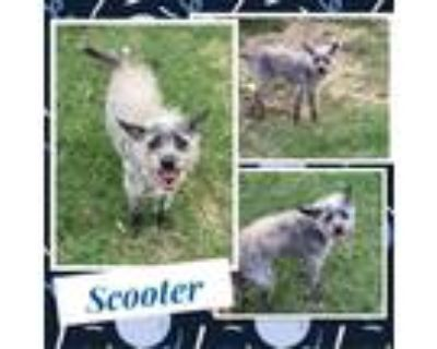 Adopt Scooter a Black Terrier (Unknown Type, Small) / Mixed dog in El Dorado