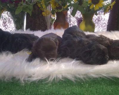 Imperial Shihtzu Puppies Males
