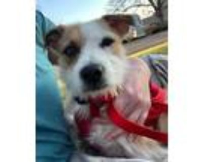 Adopt Ruffles a White - with Tan, Yellow or Fawn Dachshund / Terrier (Unknown