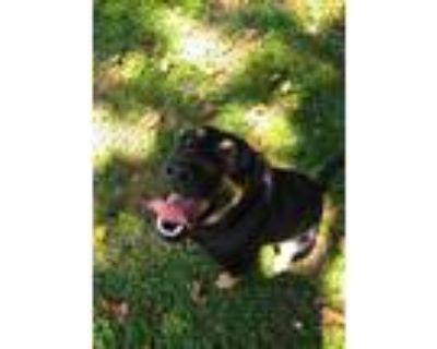 Adopt Molly a Black - with Tan, Yellow or Fawn Labrador Retriever / Terrier
