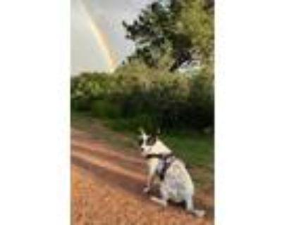 Adopt Emma a Australian Cattle Dog / Blue Heeler, Bull Terrier