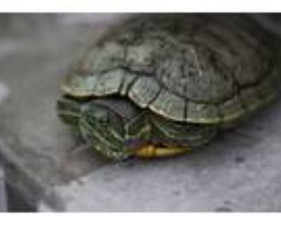 Adopt SQUIRTLE a Turtle