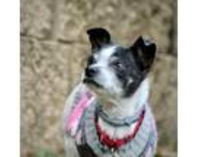 Adopt Pippa (VA) a Rat Terrier