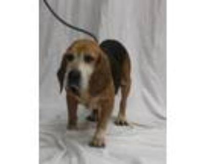 Adopt Duke of Charles a Beagle