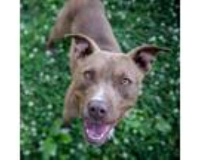 Adopt 21-058 Baby a Tan/Yellow/Fawn American Pit Bull Terrier / Mixed dog in