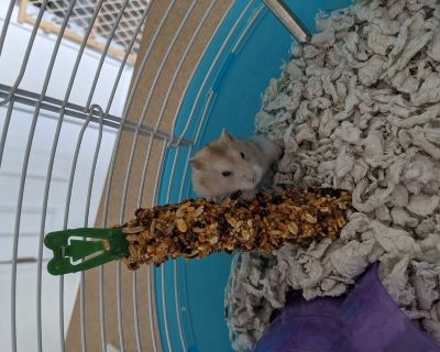 Dwarf Hamster+ everything you need
