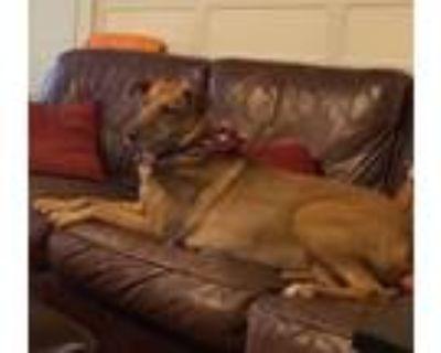 Adopt Lola Saylor a Doberman Pinscher, Australian Shepherd